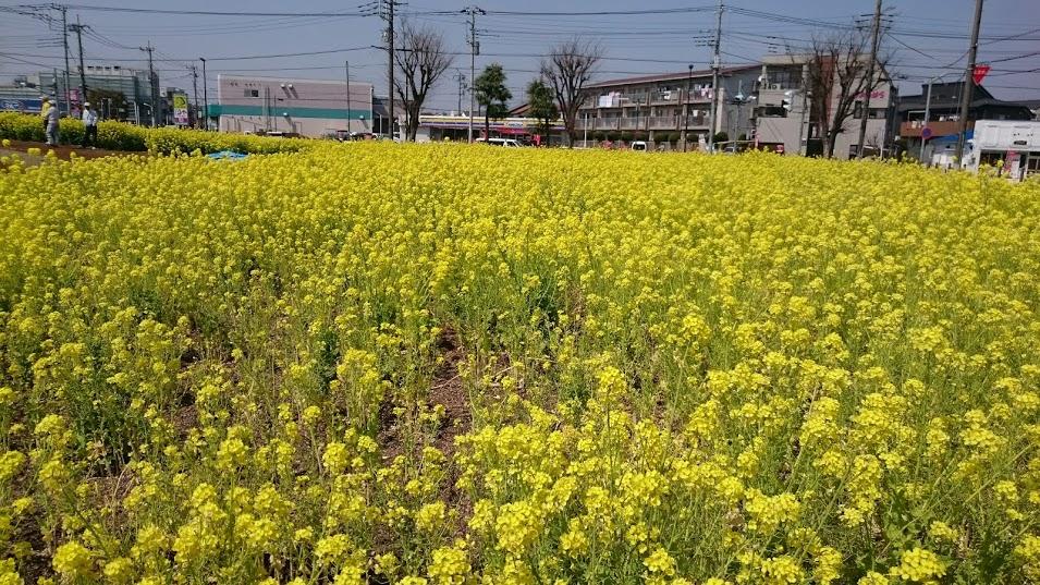 武蔵村山市に咲く菜の花