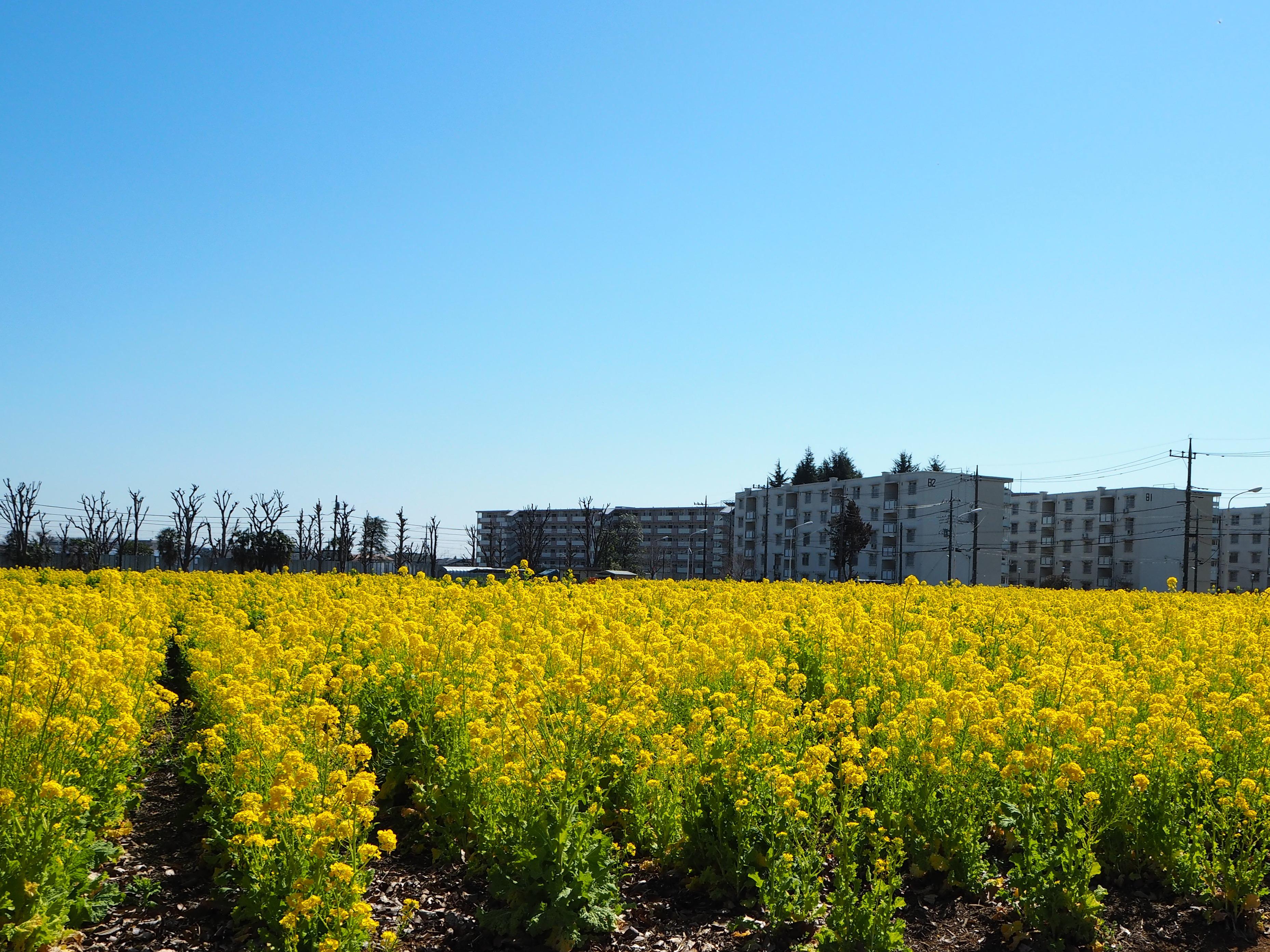菜の花ガーデン@武蔵村山市