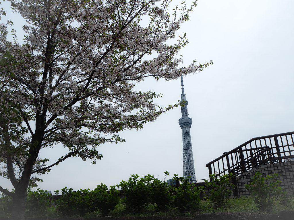 隅田川の桜とスカイツリー